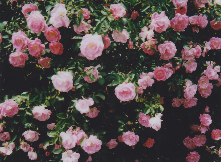 rose-roses1-kopie
