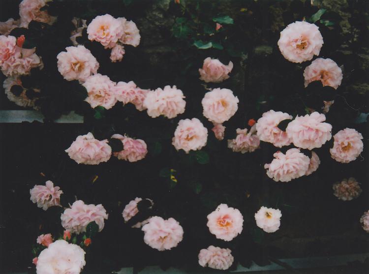 rosesroses6-kopie